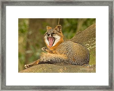 Grey Fox Framed Print