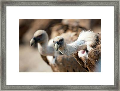 Griffon Vultures Framed Print by Nicolas Reusens