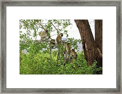 Grivet Monkey Chlorocebus Aethiops Framed Print by Photostock-israel