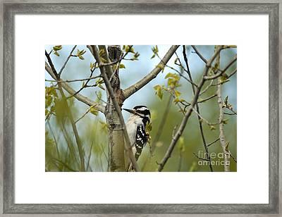 Hairy Woodpecker Framed Print by Linda Freshwaters Arndt