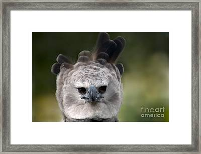 Harpy Eagle Harpia Harpyja Framed Print by Mark Newman