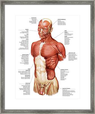 Head And Trunk Muscular Groups Framed Print by Asklepios Medical Atlas
