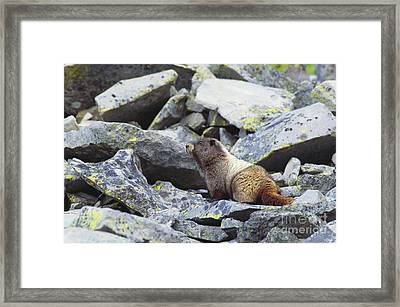 Hoary Marmot Framed Print by Art Wolfe