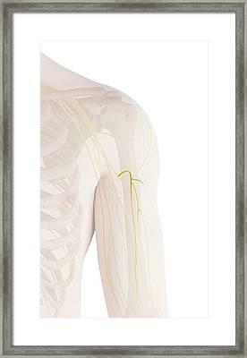 Human Arm Nerves Framed Print