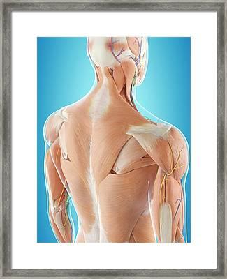 Human Back Anatomy Framed Print by Sciepro