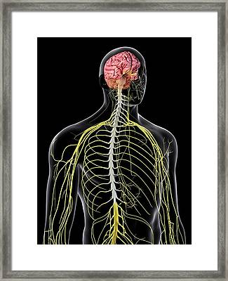Human Brain And Spinal Cord Framed Print