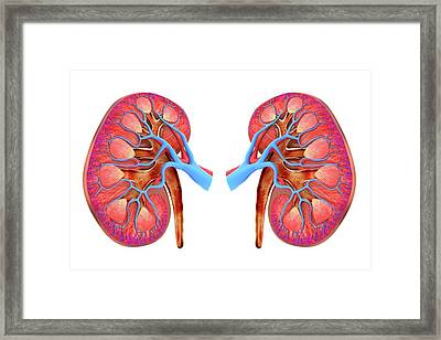 Human Kidneys Framed Print