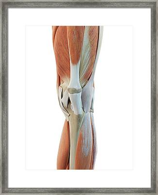 Human Knee Muscles Framed Print