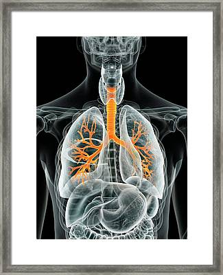 Human Lungs Framed Print by Sciepro