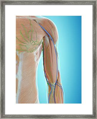 Human Shoulder Anatomy Framed Print by Sciepro