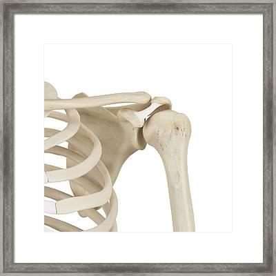 Human Shoulder Bones Framed Print