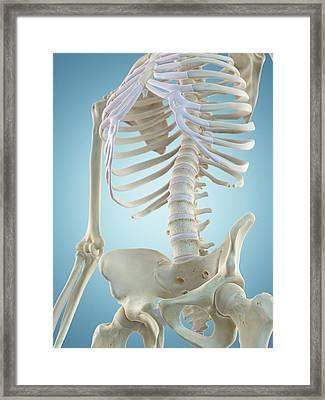 Human Skeletal Structure Framed Print by Sciepro