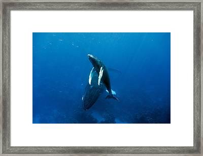 Humpback Whale And Calf Framed Print