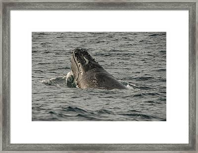 Humpback Whale (megaptera Novaeangliae Framed Print