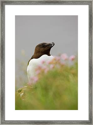 Iceland, Latrabjarg Framed Print by Jaynes Gallery