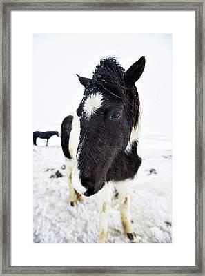 Icelandic Horse Framed Print by Dr P. Marazzi