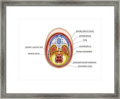 Intra-embryonic Cavities Framed Print