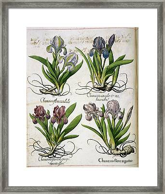 Iris Framed Print by British Library