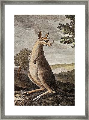 Kangaroo Framed Print by Paul D Stewart