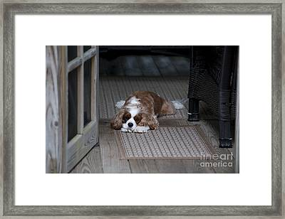 Cavalier King Charles Framed Print by Dale Powell