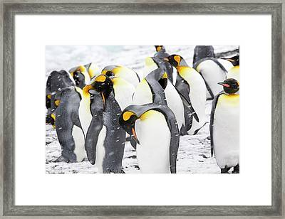 King Penguins On The Beach Framed Print by Ashley Cooper