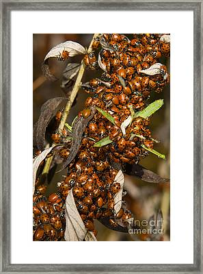 Lady Beetles Framed Print by Ron Sanford
