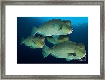 Large School Of Bumphead Parrotfish Framed Print