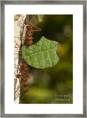Leafcutter Ants Framed Print