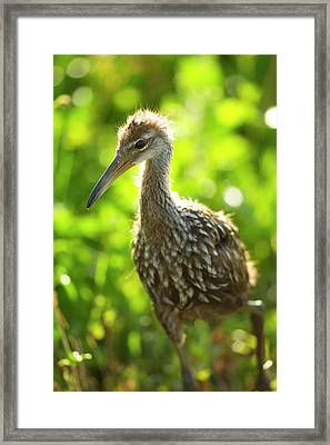 Limpkin Chick, Aramus Guarana, Viera Framed Print by Maresa Pryor