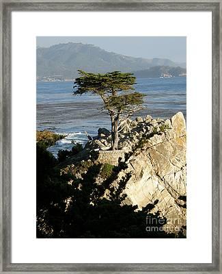 Lone Cypress Framed Print by Bev Conover