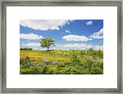 Lone Tree With Blue Sky In Blueberry Field Maine Framed Print
