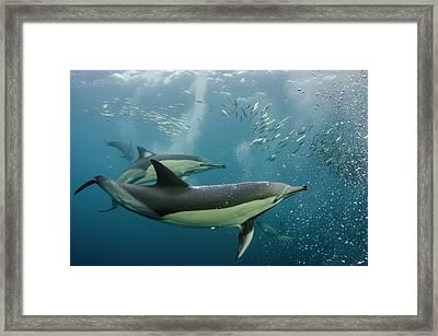 Long-beaked Common Dolphin (delphinus Framed Print
