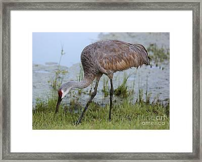 Lovely Sandhill Crane Framed Print by Carol Groenen