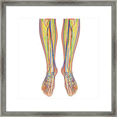 Lower Leg Anatomy Framed Print by Pixologicstudio/science Photo Library
