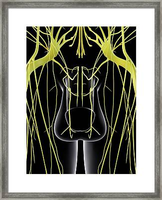 Male Nervous System Framed Print by Sciepro