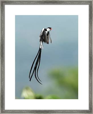 Male Pin-tailed Whydah In Mating Display Framed Print by Tony Camacho