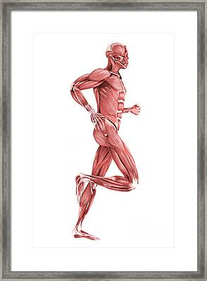 Medical Illustration Of Male Muscles Framed Print by Stocktrek Images
