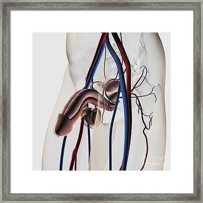 Medical Illustration Of Male Framed Print by Stocktrek Images