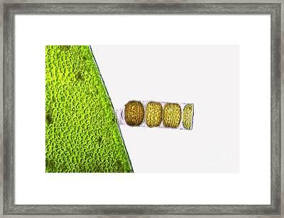 Melosira Sp Diatoms, Light Micrograph Framed Print by Frank Fox