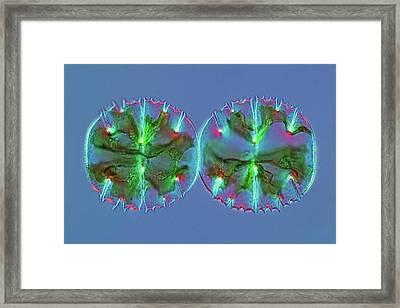Micrasterias Desmids Framed Print
