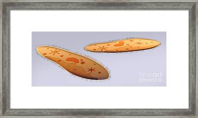Microscopic View Of Paramecium Framed Print by Stocktrek Images