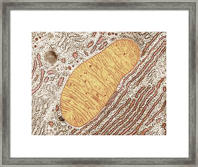 Mitochondrion Framed Print by Keith R. Porter