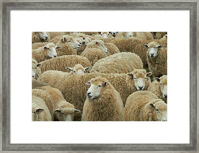 Mob Of Sheep, Catlins, South Otago Framed Print by David Wall