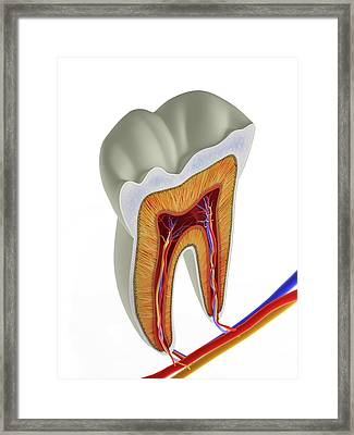 Molar Tooth Cross-section Framed Print by Alfred Pasieka