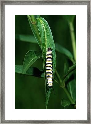 Monarch (danaus Plexippus Framed Print by Richard and Susan Day