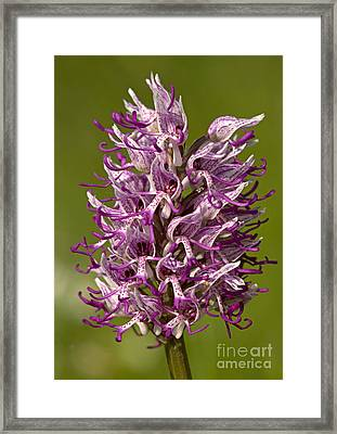 Monkey Orchid Orchis Simia Framed Print