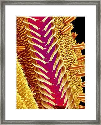Moth Proboscis Framed Print