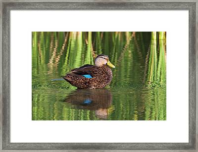 Mottled Duck (anas Fulvigula Framed Print by Larry Ditto