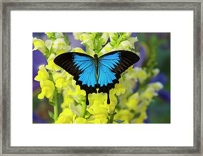 Mountain Blue Swallowtail Of Australia Framed Print by Darrell Gulin