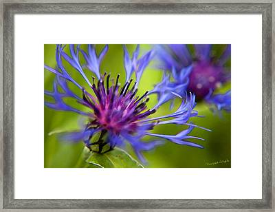 Mountain Coneflower Framed Print by Theresa Tahara